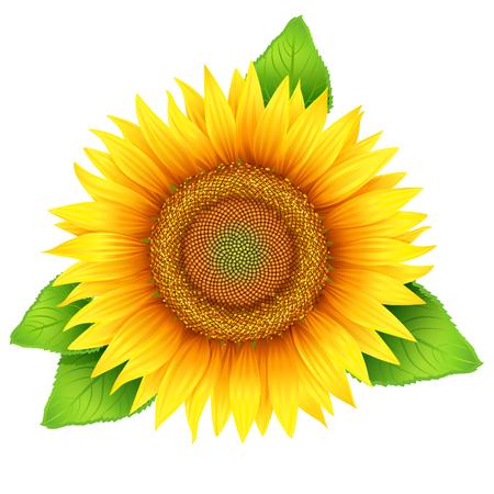 Bloem van de zonnebloem met bladeren, geïsoleerd op wit, vector