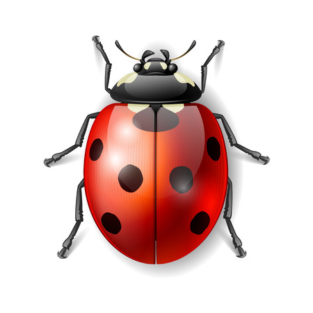 ladybird: Ladybird vector illustration, ladybug vector icon