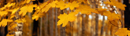 Yellow autumn maple leaves � banner, panorama photo