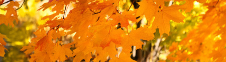 Yellow autumn maple leaves - banner, panorama