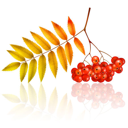 Isolated autumn rowan branch with leaves and berries Illustration