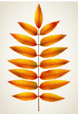 rowan: Single isolated autumn rowan leaf