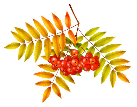 ashberry: Isolated autumn rowan branch with leaves and berries Illustration