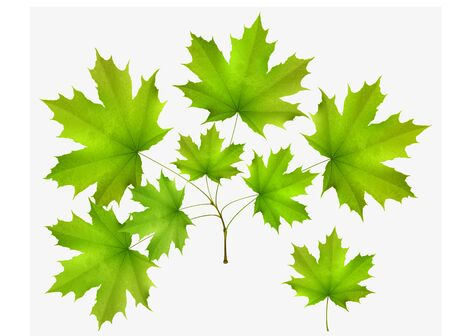 spring  leaf: Green leaf maple and maple branch isolated on white