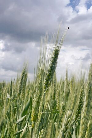 Young ears of grain on the background of sky photo