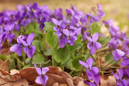 palustris: Purple violets bloom in spring forest
