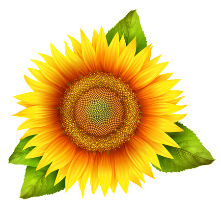 oil crops: Flower of sunflower with leaves, isolated on white, vector