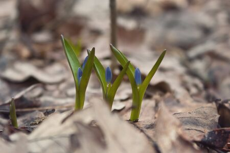 bluebell: Bluebell - Siberian Scilla, flowers in the forest, forest landscape Stock Photo