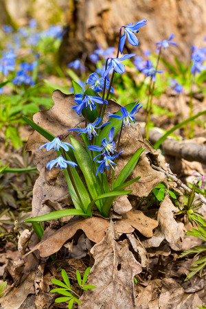 Blue snowdrop blossom flowers in early spring in the forest. Scilla siberica Squill