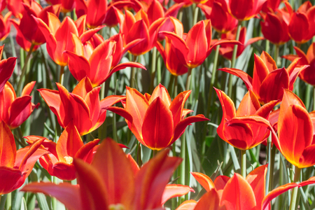 Group and close up of red orange lily-flowered single beautiful tulips growing in the garden Stock Photo
