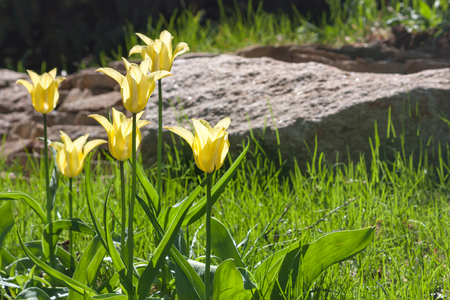 Group and close up of yellow lily-flowered single beautiful tulips growing in the garden