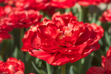 Group and close up of dark red vinous double beautiful tulips growing in the garden