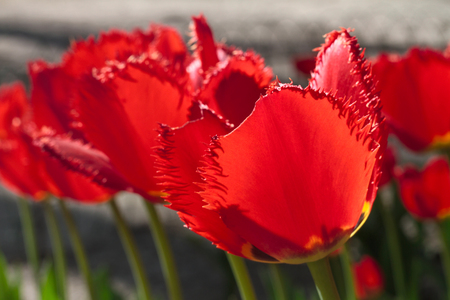 Group and close up of dark red vinous fringed beautiful tulips growing in the garden