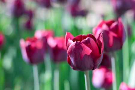 Group and close up of vinous purple single beautiful tulips growing in the garden Stock Photo