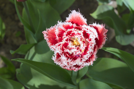 Close up of red white fringed beautiful tulip growing in the garden Stock Photo