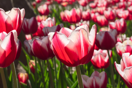 flowered: Group and close up of red white lily-flowered single beautiful tulips growing in the garden Stock Photo