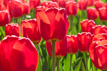 Group and close up of red single beautiful tulips growing in the garden