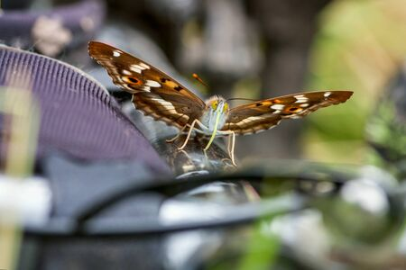 Butterfly Lesser Purple Emperor (Apatura ilia) sitting on a bicycle frame on sunny summer day Stock Photo