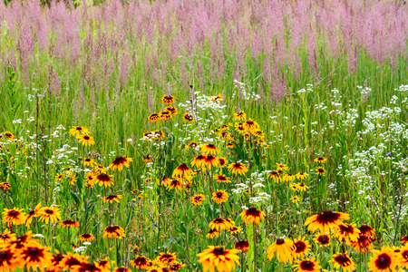 Rudbeckia hirta (also called Black-eyed-Susan) wild-growing in a meadow, against the background of wildflowers