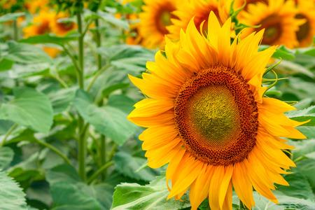 sun energy: Summertime rural landscape - field of sunflowers during flowering Stock Photo