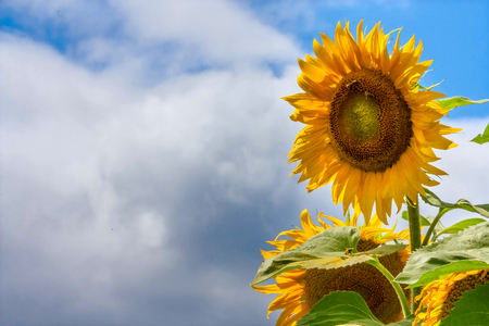 sun energy: Blooming sunflowers and pollinating them honey bees against the blue sky background Stock Photo
