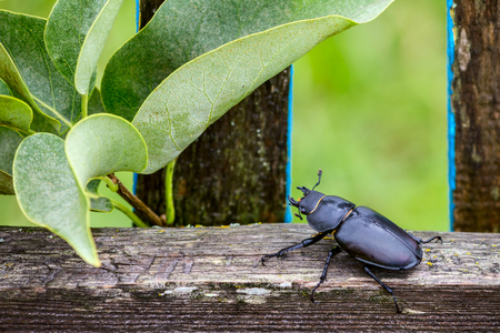 Female stag beetle (Lucanus cervus), sits on rustic fence closeup Stock Photo