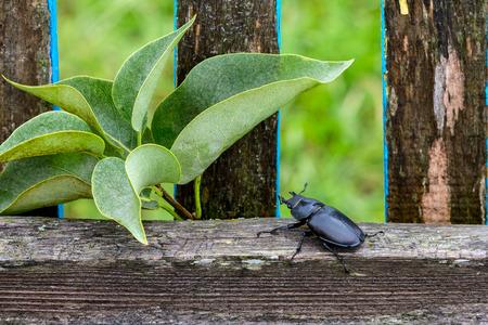 Female stag beetle (Lucanus cervus), sits on rustic fence closeup Stock Photo