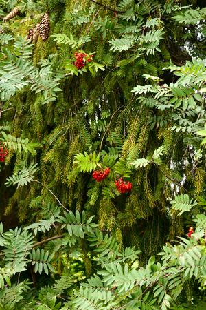 sorb: Summer landscape - dense thickets of mountain ash (rowan) and spruce