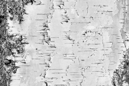 Natural background - the horizontal texture of a real birch bark close-up in springtime Banco de Imagens