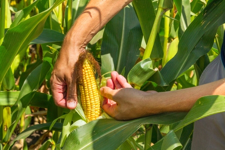 Corn cob in farmer hands while working on agricultural field, closeup
