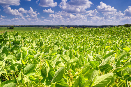 Rural landscape - field the soybean (Glycine max) in the rays summer sun under sky with clouds 版權商用圖片