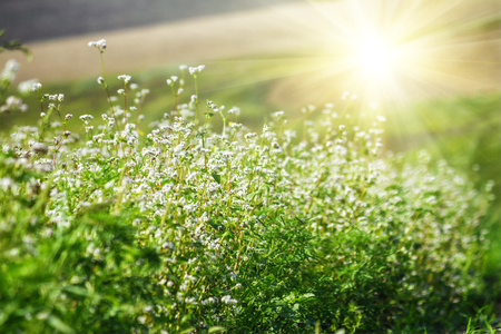 Blooming buckwheat (Fagopyrum esculentum) field in the rays of the summer sun, close-up Stock Photo