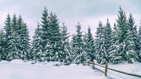Rural winter landscape - view of the snowy pine forest in the mountains Stockfoto