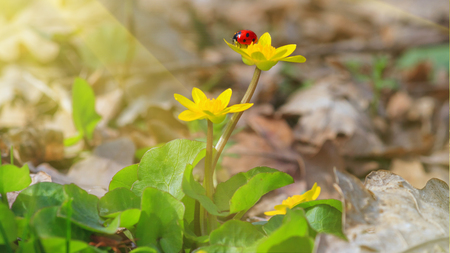 Blooming lesser celandine (Ficaria verna) with a ladybird beetle on a flower, in early spring in the forest, closeup 版權商用圖片