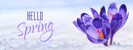Crocuses - blooming purple flowers making their way from under the snow in the form of postcard with greeting text, closeup, banner Stock Photo
