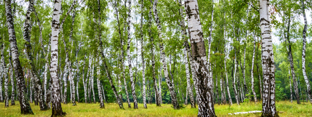 Birch grove on a sunny summer day, summertime landscape Stock fotó