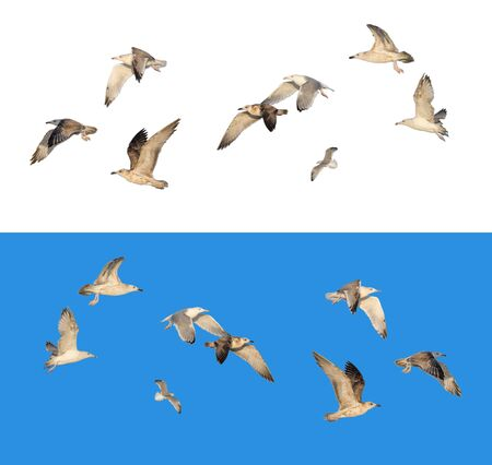 Set of different flying seagulls in different poses, isolated on white and blue background Stok Fotoğraf