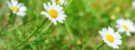 Ð¡hamomile (Matricaria recutita), blooming plants in the spring meadow on a sunny day, closeup with space for text