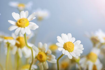 Ð¡hamomile (Matricaria recutita), blooming spring flowers on gray background, closeup, selective focus, with space for text