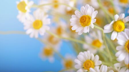 Ð¡hamomile (Matricaria recutita), blooming spring flowers on a blue background, closeup, selective focus, with space for text