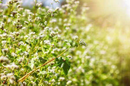Blooming buckwheat (Fagopyrum esculentum) field in the rays of the summer sun, close-up 版權商用圖片
