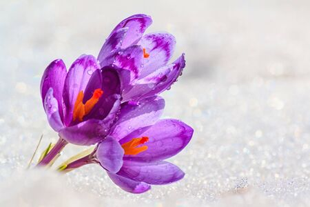 Crocuses - blooming purple flowers making their way from under the snow in early spring, closeup with space for text Standard-Bild