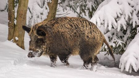 Winter landscape - view of the a wild boar (Sus scrofa) in the winter mountain forest after snowfall, selective focus