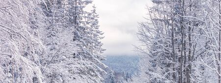 Winter landscape, banner - view of the snowy trees in the winter mountain forest after snowfall
