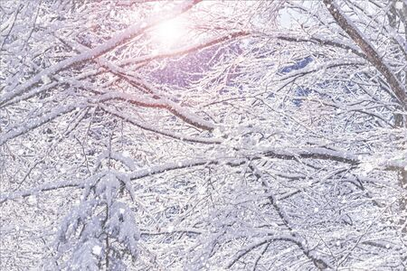 Winter landscape - view of the snowy branches in the winter mountain forest after snowfall