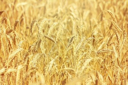 Rural landscape - field common wheat (Triticum aestivum) in the rays of the summer sun, close-up Stock fotó