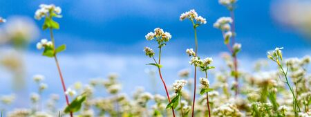 Rural landscape - blooming buckwheat field under the summer sky, banner 版權商用圖片