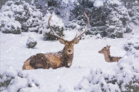 Winter landscape - view of the a pair of red deer (Cervus elaphus) in the winter mountain forest after snowfall, selective focus