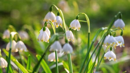 Leucojum vernum or spring snowflake - blooming white flowers in early spring in the forest, closeup