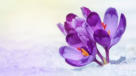 Crocuses - blooming purple flowers making their way from under the snow in early spring, closeup with space for text Reklamní fotografie
